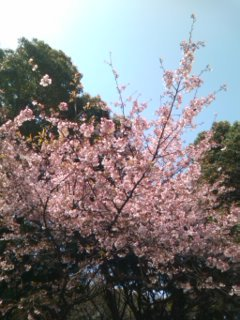 上野公園/山桜20100322.jpg