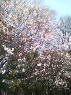 上野公園/芝桜[1]20100322.jpg